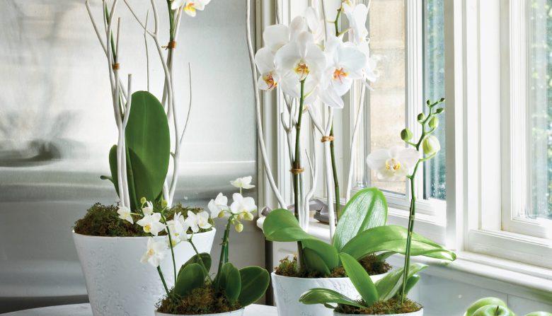 kaip priziureti orchidejas