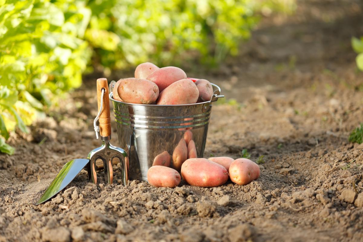 bulves kibire