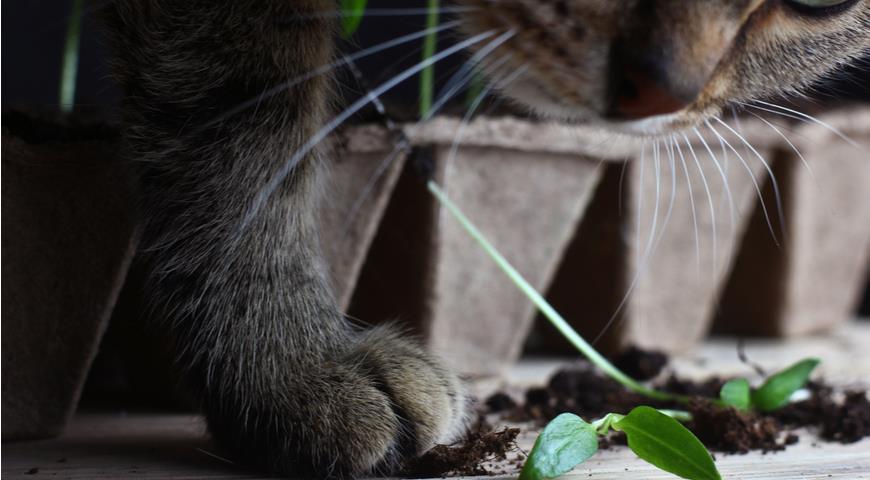 daigu apsaugojimas nuo kačių