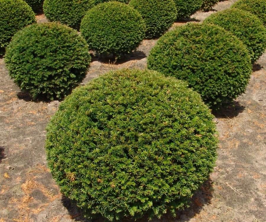 dekoratyviniai augalai 13