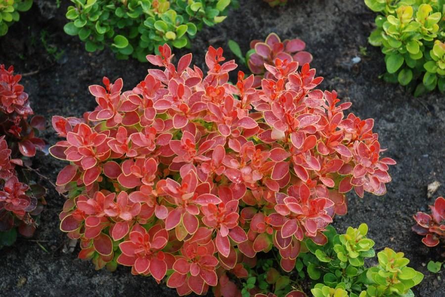 dekoratyviniai augalai 17