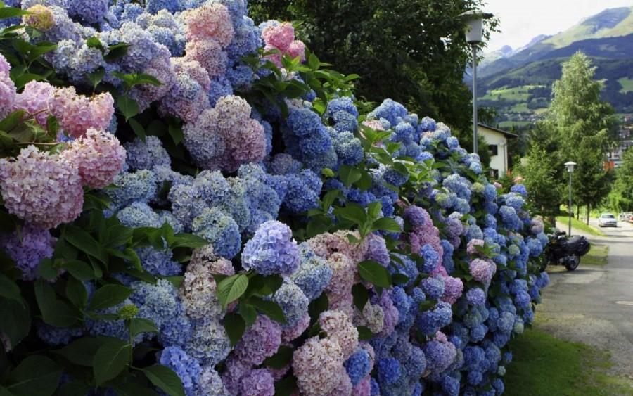 dekoratyviniai augalai 19