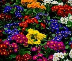 dekoratyviniai augalai 25