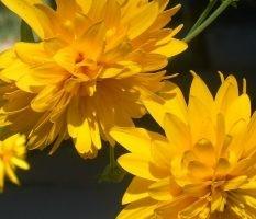 dekoratyviniai augalai 29
