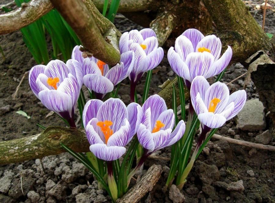 dekoratyviniai augalai 31