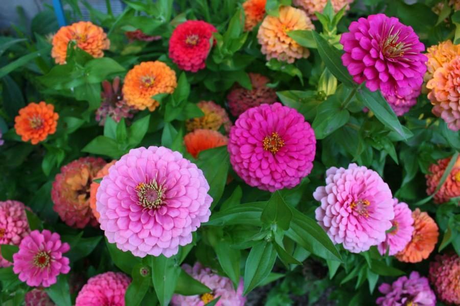 dekoratyviniai augalai 32