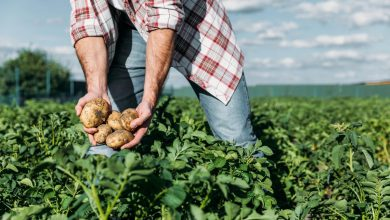 kada sodinti bulves