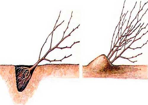 vysniu ir tresniu sodinukai ziema