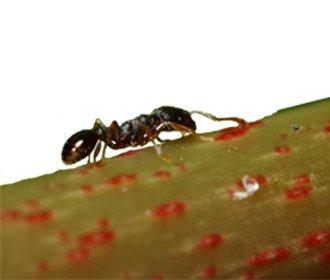 Pievine skruzdele