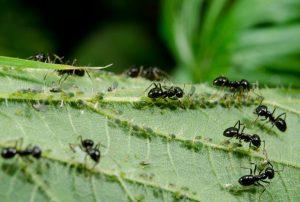Sodine skruzdele