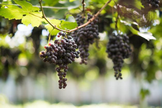 vynuogiu pasirinkimas